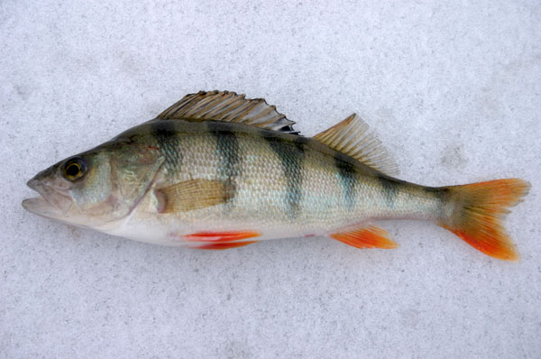 Ice fishing on the lakes of the tampere region finland for Ice fishing perch