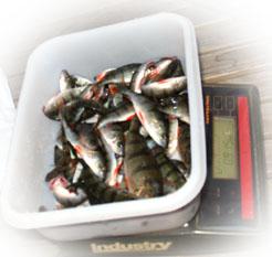 La tarjeta del golfo finlandés la pesca
